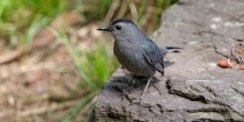 A small gray bird, called a gray catbird, standing on a rock