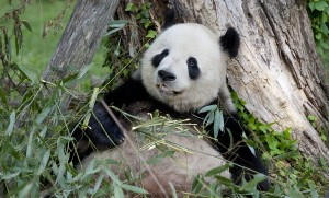 a giant panda eats bamboo