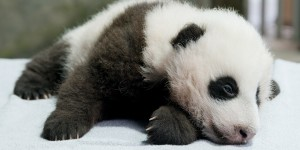 a giant panda cub named Xiao Qi Ji lies sleepily on a white table