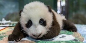 Giant panda cub on Nov. 9, 2020 during a keeper exam.