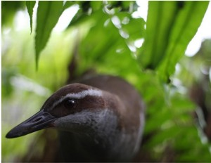 A small brown bird, called a Guam rail, walks along the ground in a forested area