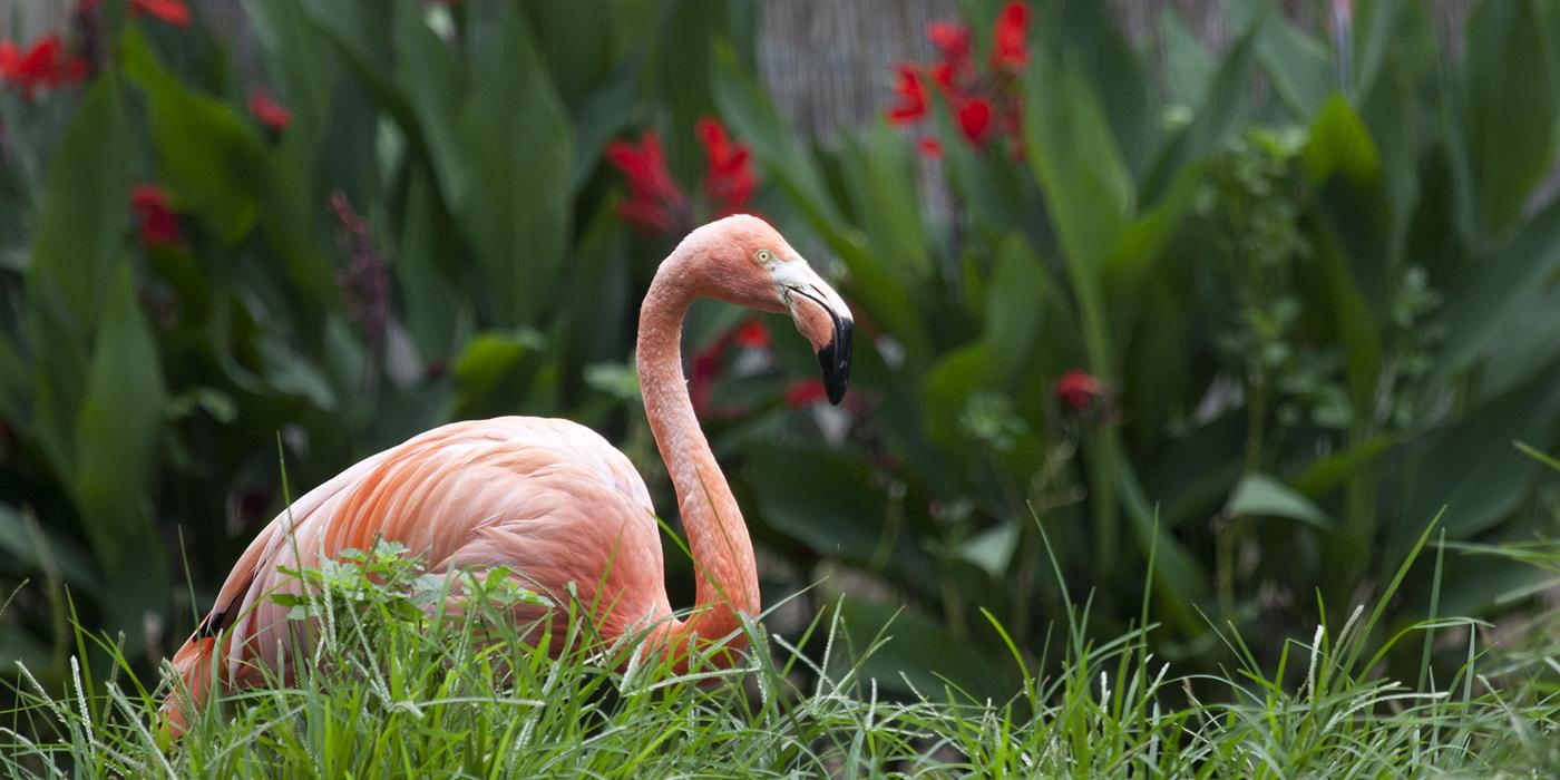 flamingo sitting in grass