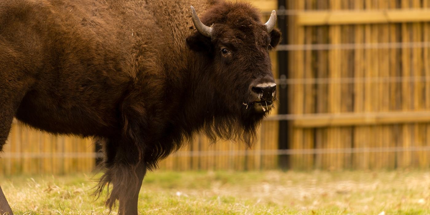 massive brown short-haired animal with shaggy black fur on its head and chest and short curved horns