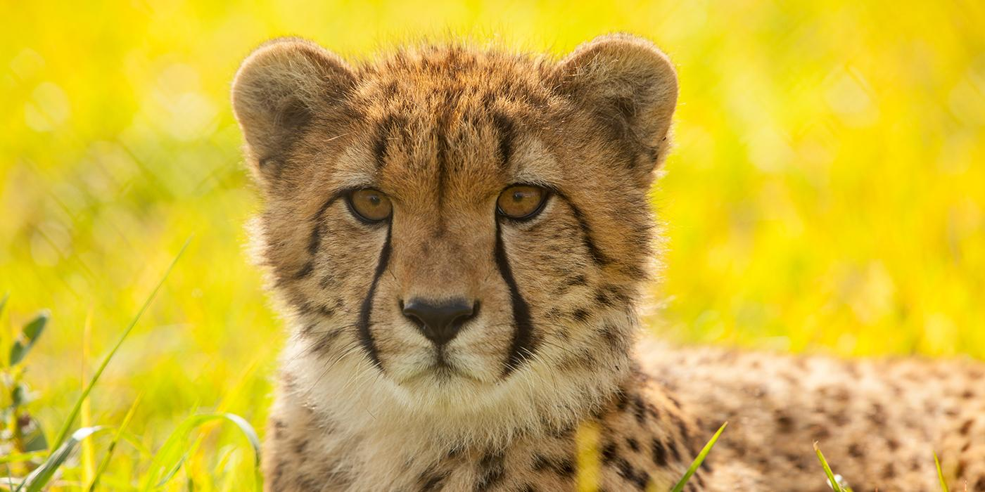 cheetah sitting in the grass
