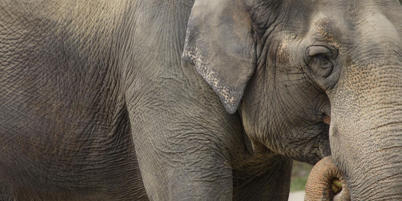 closeup of an elephant from its forehead to its front leg. It trunk is curled up to its mouth