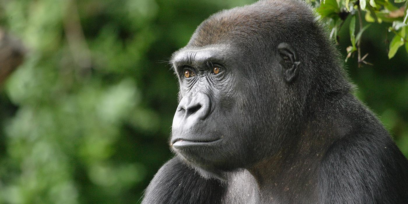 lowland gorilla staring off into the distance