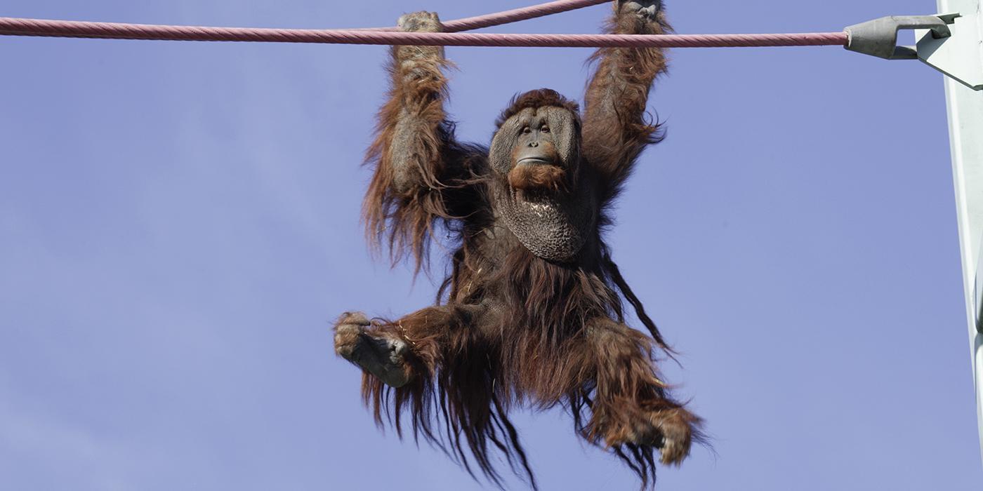orangutan hanging on the O line