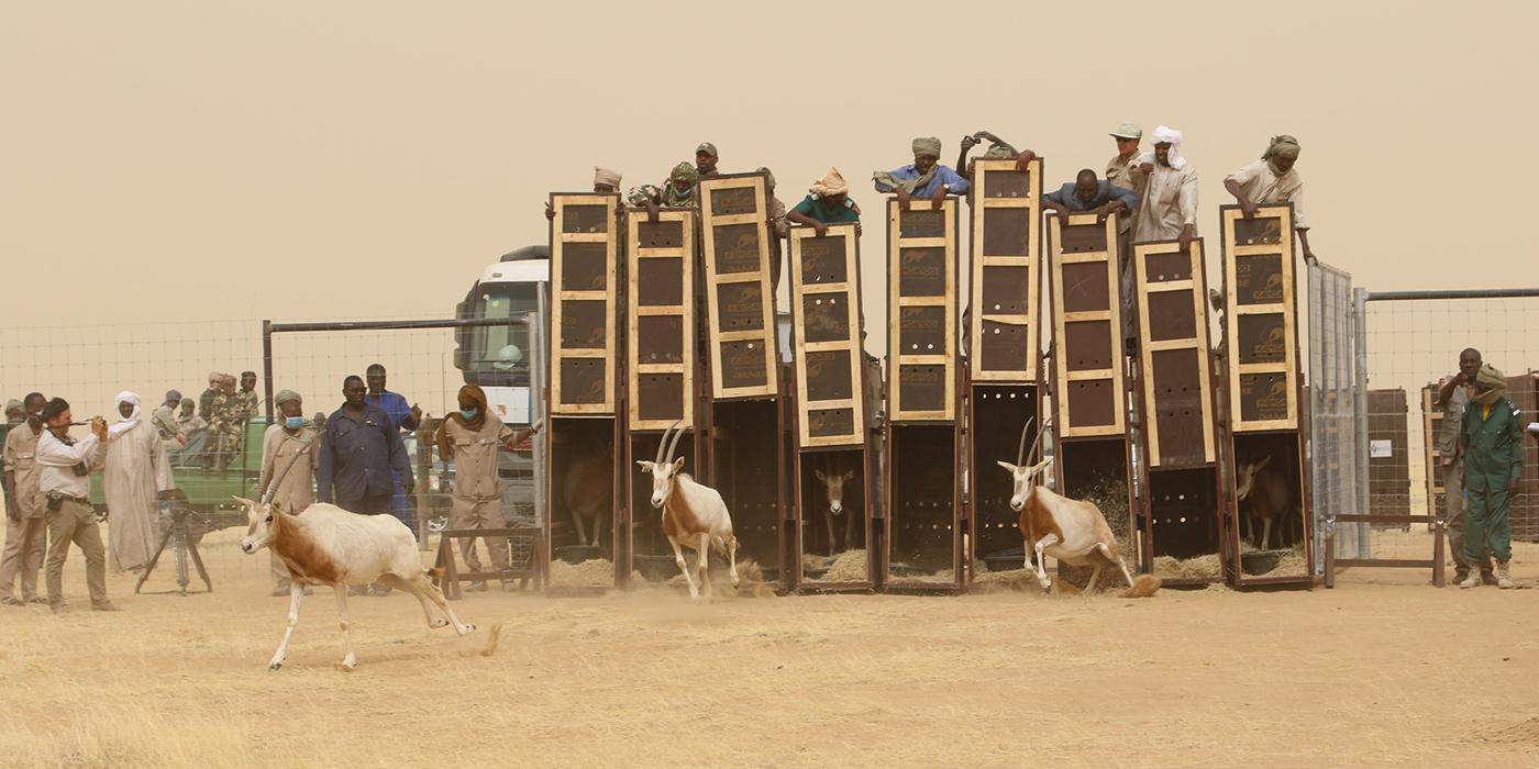 oryx being released into the wild in Chad
