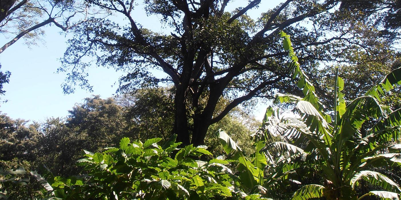 tall tree over coffee shrubs