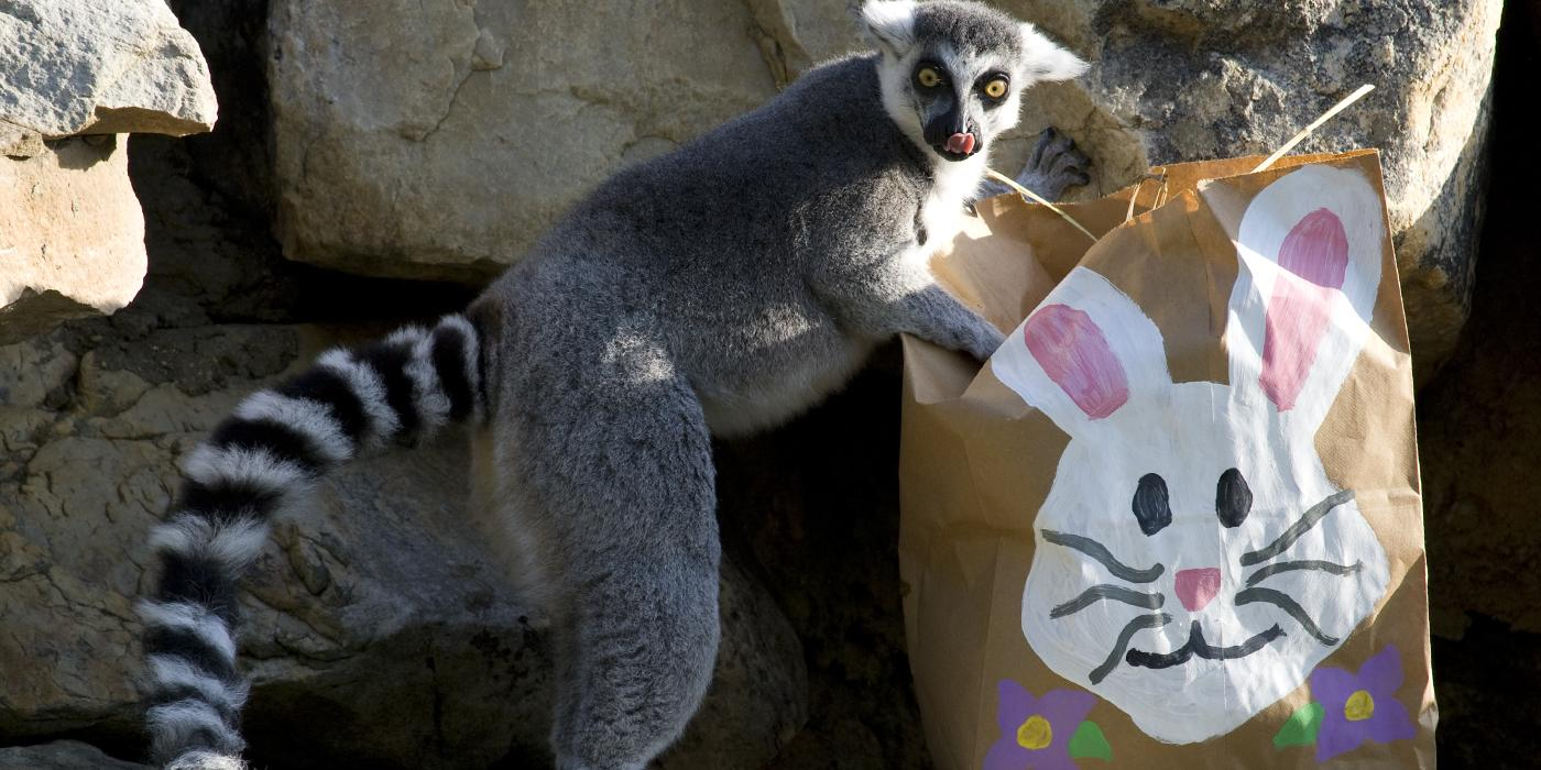 Lemur looking into a brown bag decorated with an Easter bunny