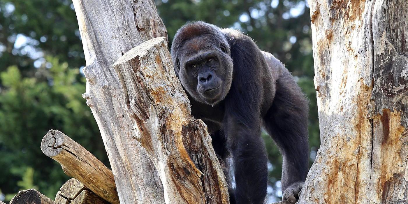 Western lowland gorilla Calaya on a tree branch