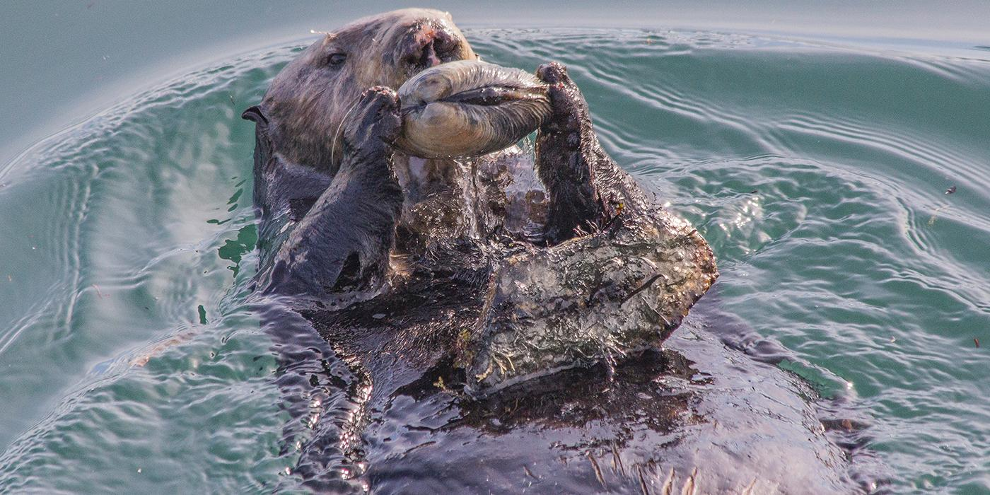 Sea otter floats on its back and uses rock to open clam