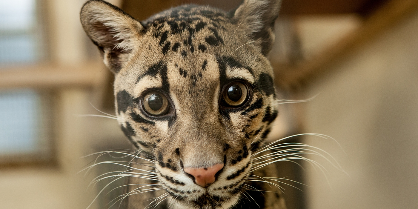 Adopt a Clouded Leopard Smithsonians National Zoo