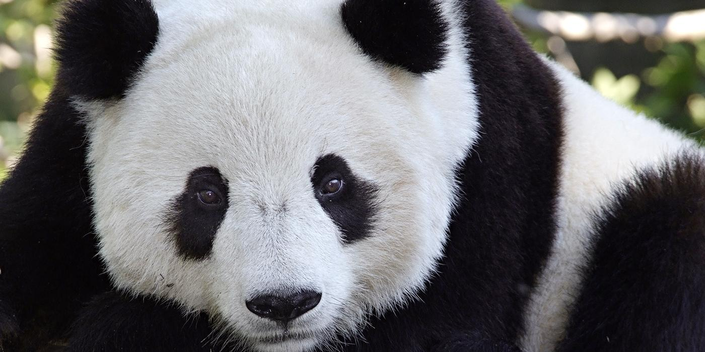 Adopt a Giant Panda | Smithsonian's National Zoo