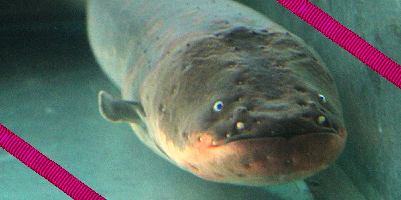 electric eel close-up of face with pink ribbon overlay