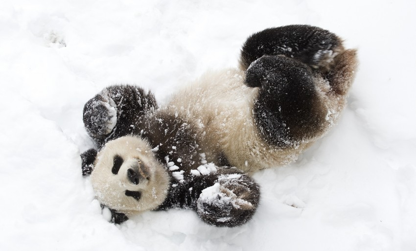 giant panda rolling in the snow