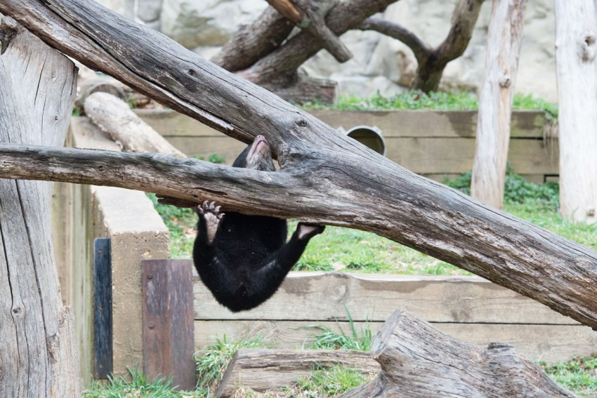 andean bear cub plays, is hanging off branch