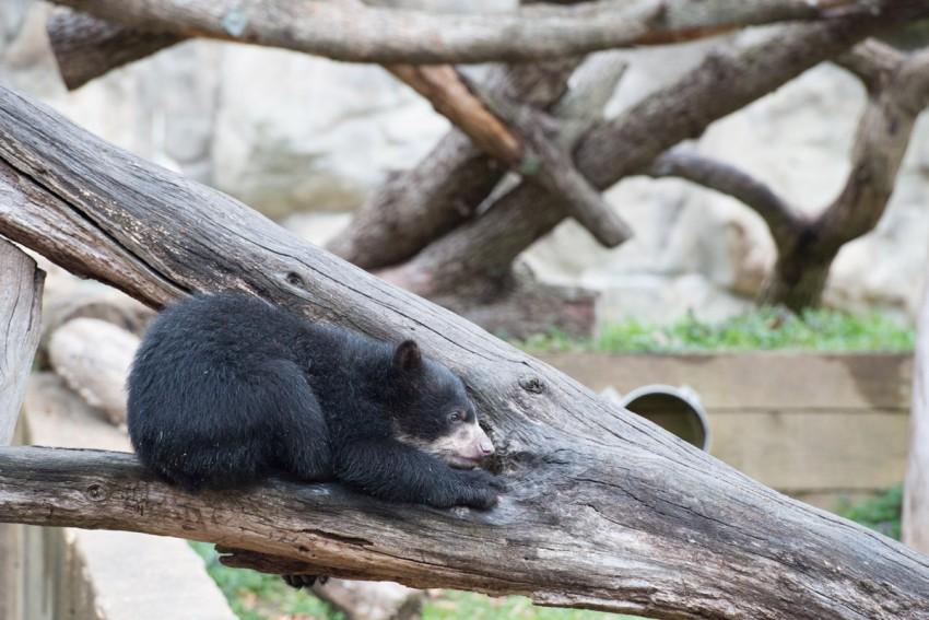 andean bear cubs play