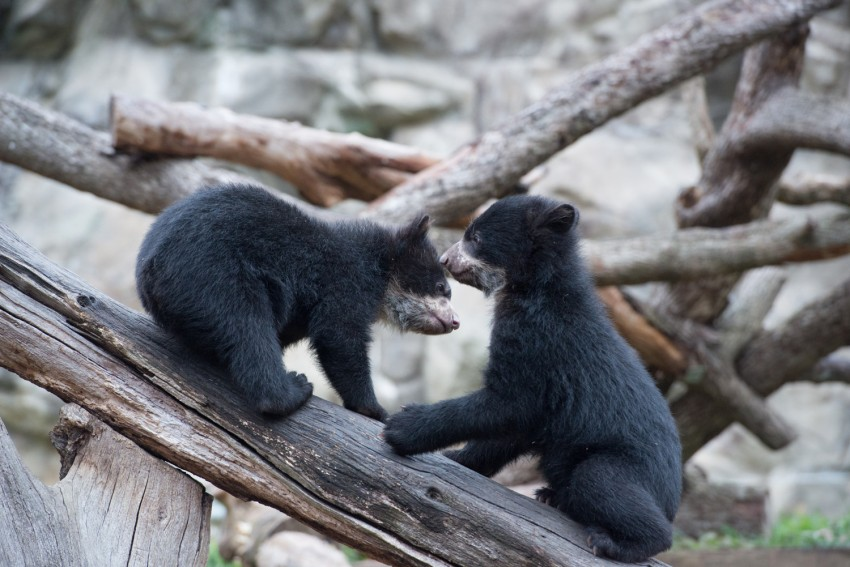 Andean bear cubs play on log
