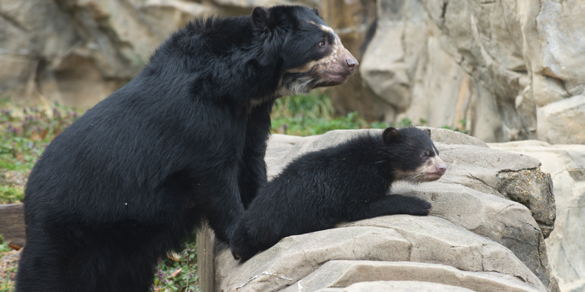 Andean bear mother and cub look over rock wall together