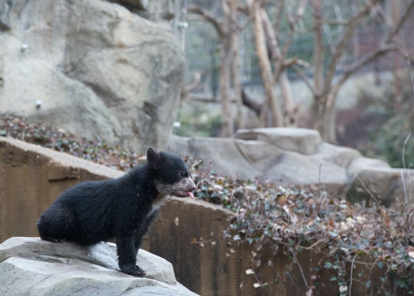 Andean bear cub looks into the next yard