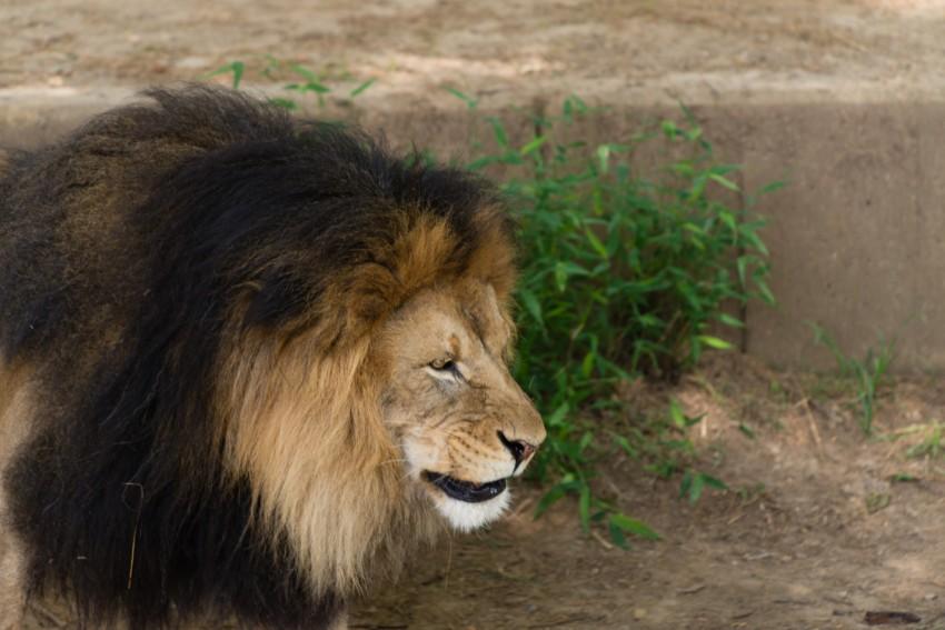 Male lion showing dark long mane