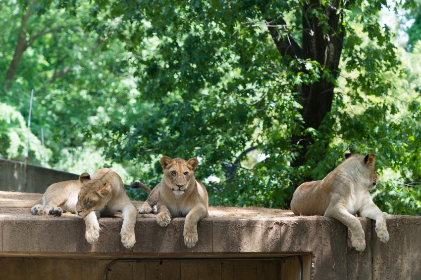 Lions with front paws dangling off wall