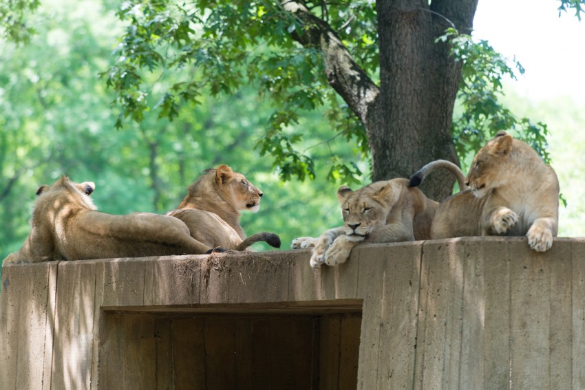 Lions resting on wall