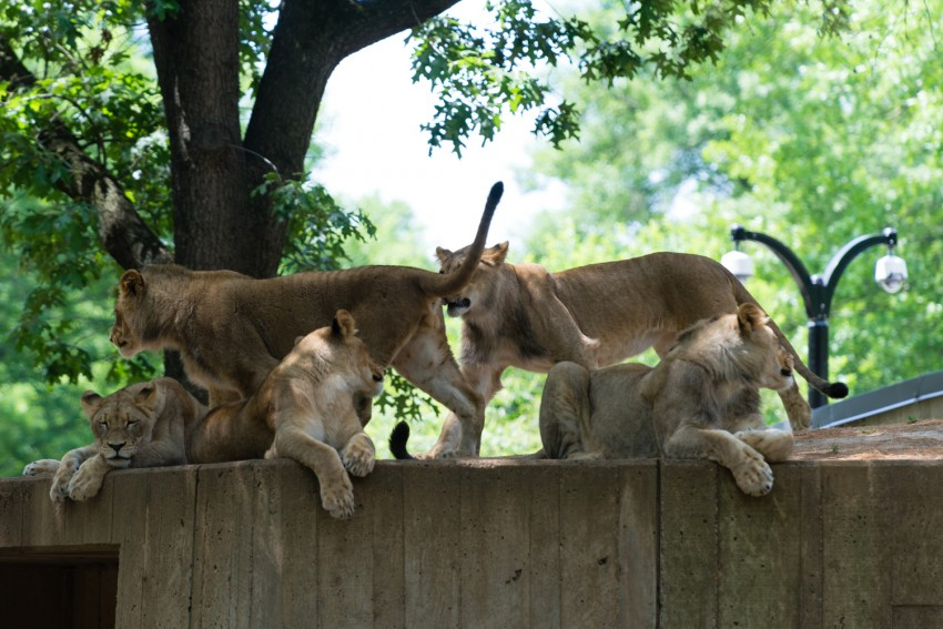 Lions on wall