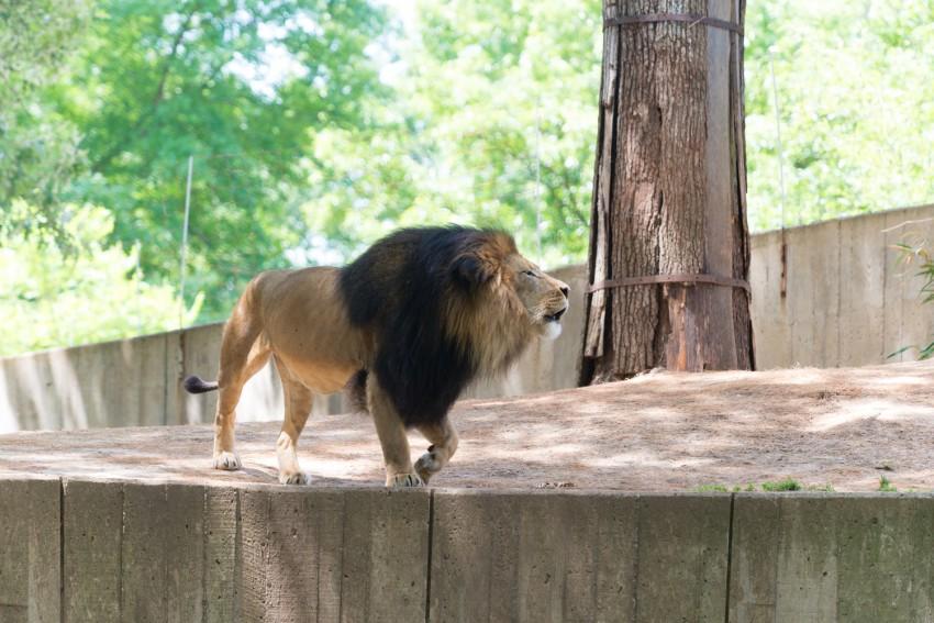 Male lion strolling through exhibit