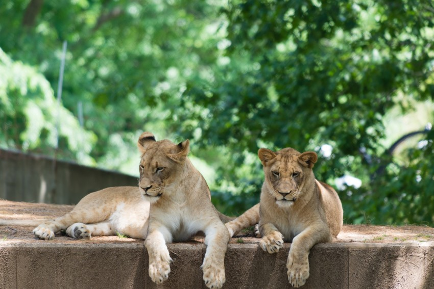 Two young lions resting