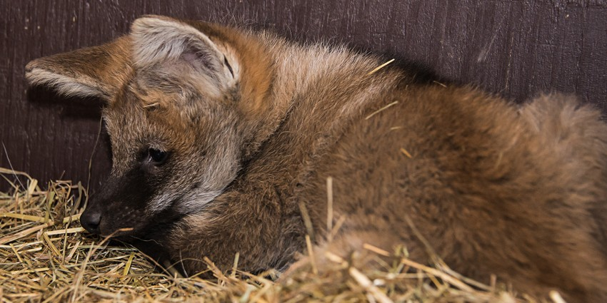 Maned wolf pup lies on his bed