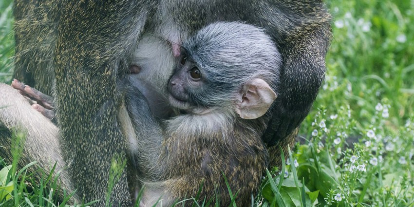 Swamp monkey baby with its mother