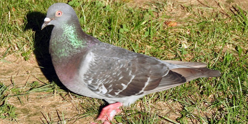 pigeon walking on ground