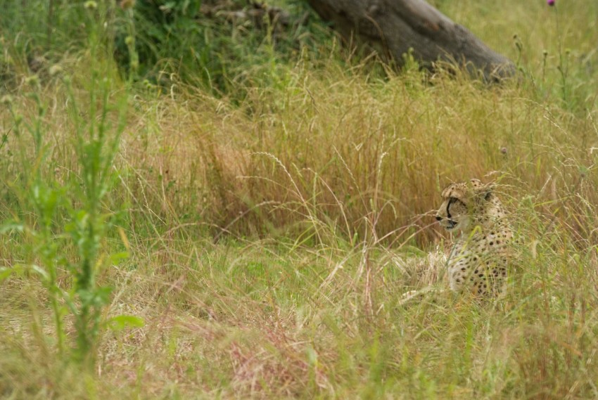 Cheetah in long grass
