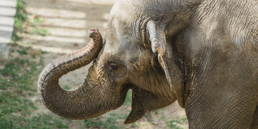elephant touches trunk to its forehead