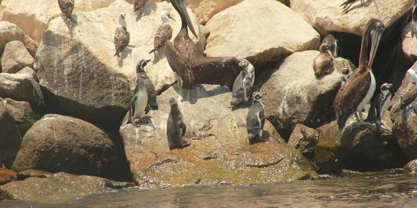 penguins on rocks of breakwater with other bird species