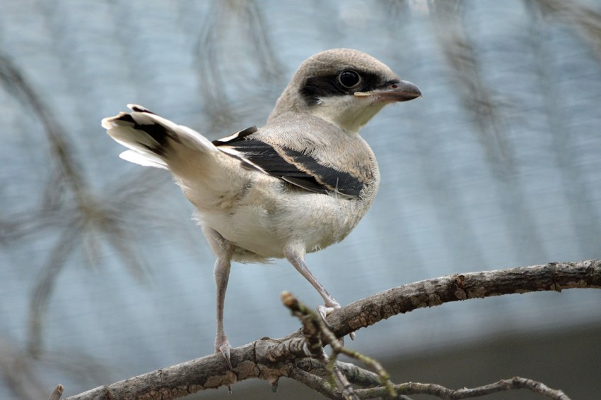 Shrike fledgling perched. Its black mask, wings, and tail are evident. The remainder of its plumage is a pale gray and white.