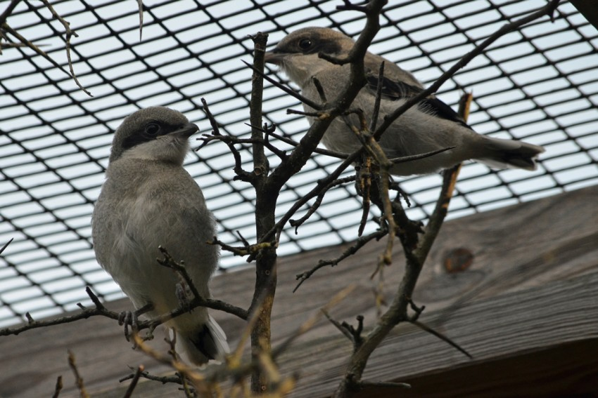 Two shrike chicks perched on branches in their enclosure