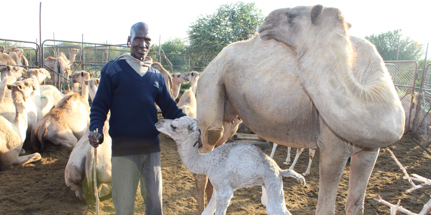 "a local herder welcomes a newborn camel calf named ""Devin"" in honor of Dr. Tunseth"