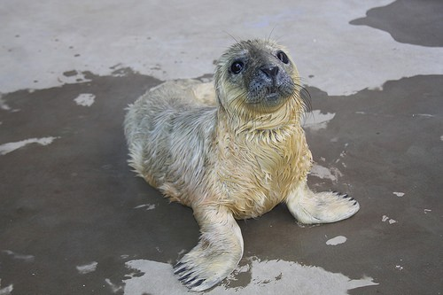 gray seal pup on ground