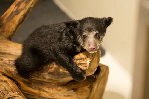 sloth bear cub