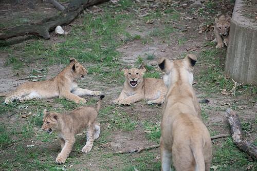 lion cubs frolicking