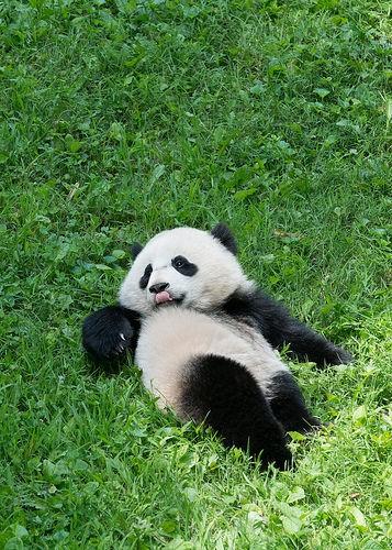baby panda resting on its back