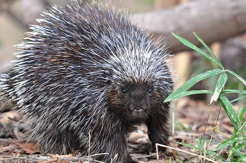 porcupine on ground