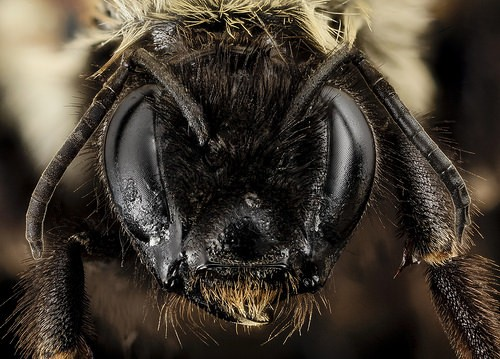 rusty-patched bumble bee face