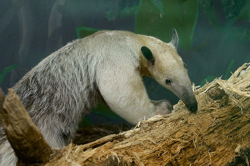anteater on a branch