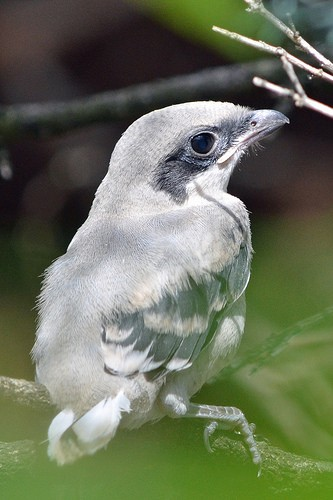 shrike chick perched on twig