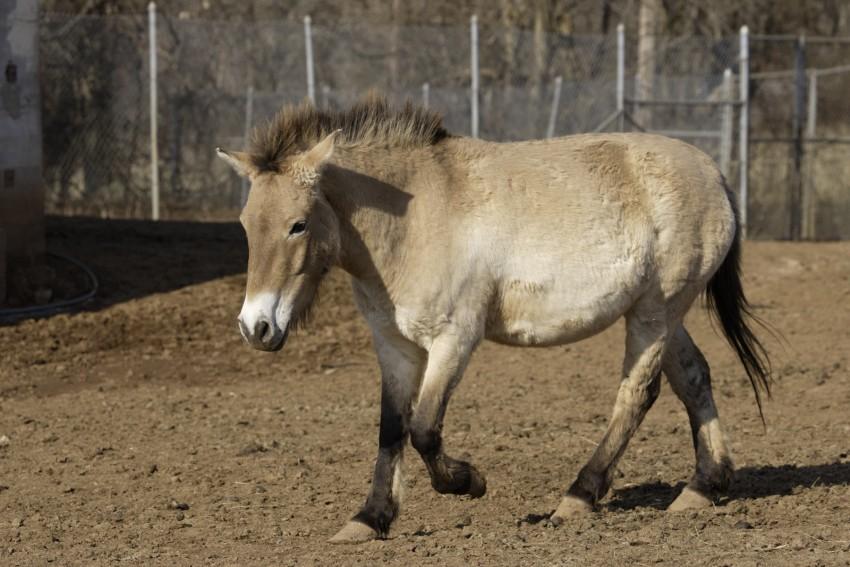 Przewalski's horse Maja