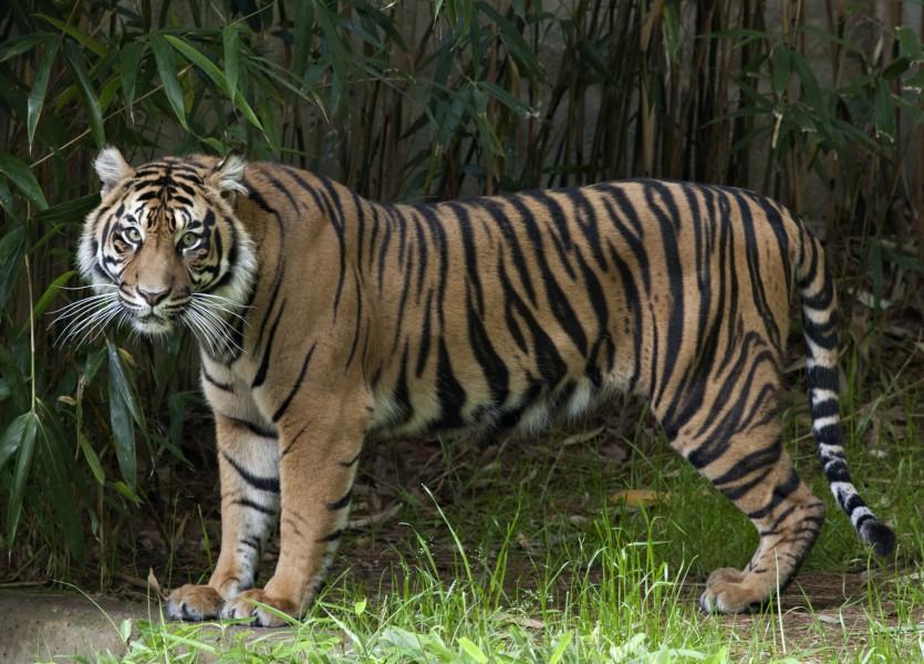 Damai, the Zoo's female Sumatran tiger.